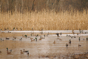 Duck Hunting Gaining Popularity as Duck Numbers Continue to Rise