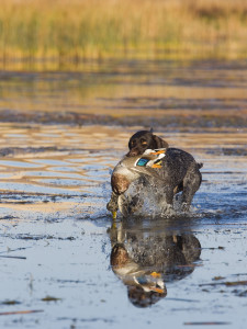Preparing Your Gun Dog for Duck Hunting in Missouri