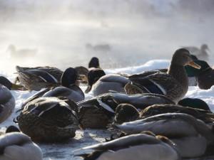 Best Tips for Hunting Late Season Ducks