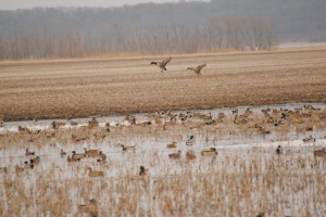 Best Conditions for Mallard Hunting in Missouri