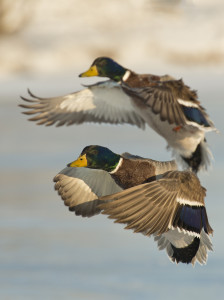 Missouri...Where the Mallard Duck is King