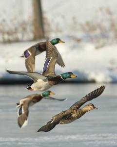 Missouri Late Season Duck Hunting Tips