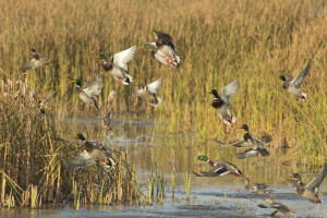 Tips for Small Water and Pond Duck Hunting
