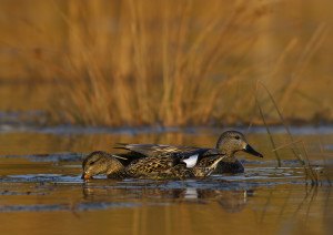 Tips for Hunting Gray Ducks (Gadwall Ducks ...