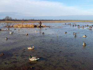 Why Hunters in the Know Are on Fire for Southeast Missouri Duck Hunting