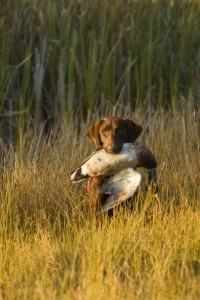 How to Find the Right Duck Hunting Dog