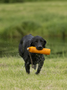 Basic Tips for Training Your Duck Hunting Dog