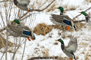 What Makes Missouri One of the Top Duck Hunting Destinations?